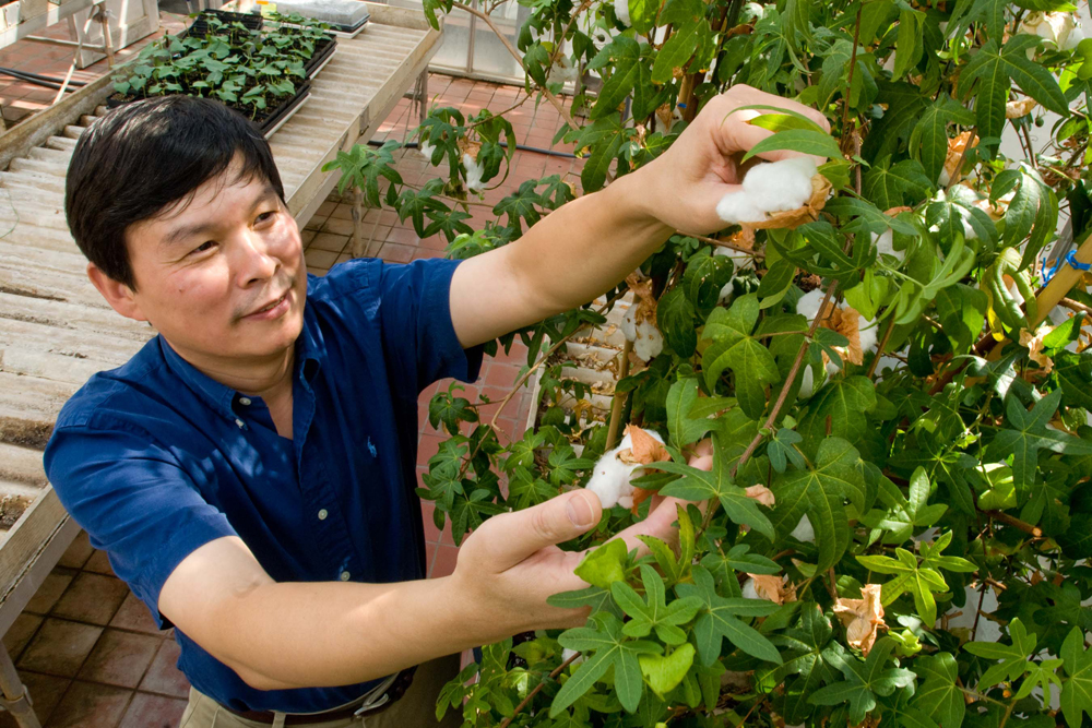 Dr. Z. Jeff Chen inspects a cotton plant in a campus greenhouse.