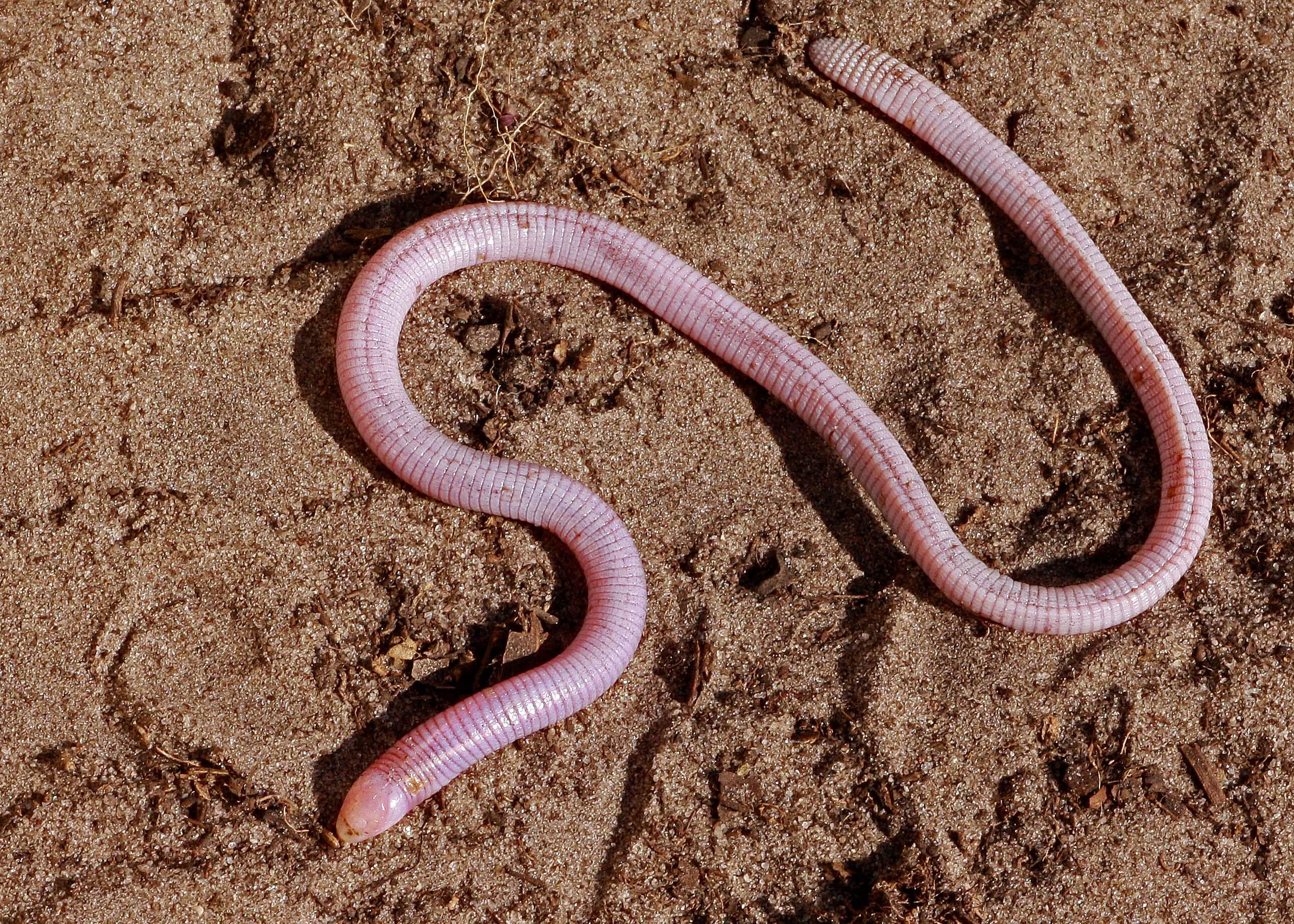 Florida worm lizard