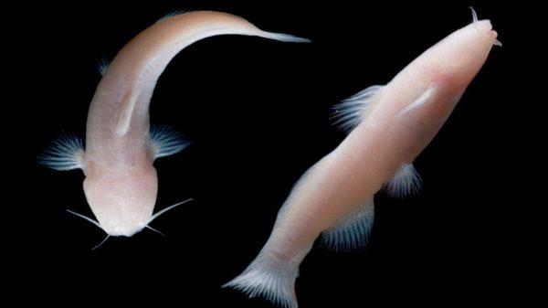 prietella-phreatophila-blind-catfish
