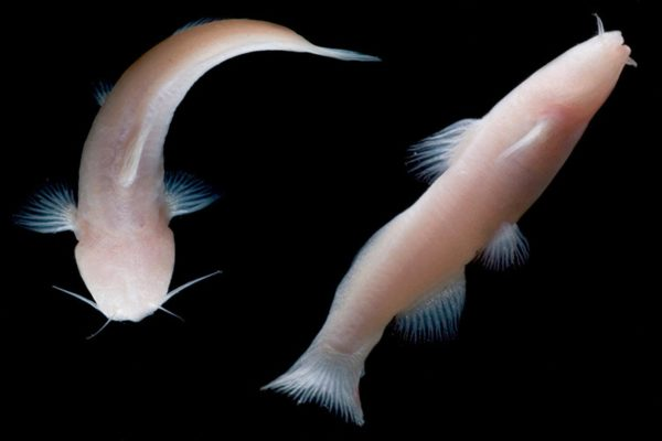 Two nearly translucent blind catfish swimming against a black background.