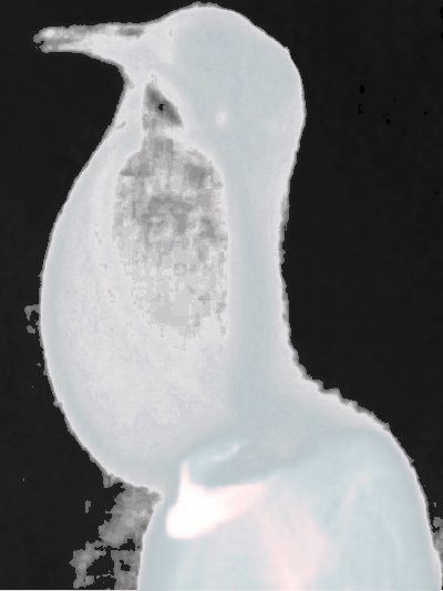 X-ray image of a ring dove
