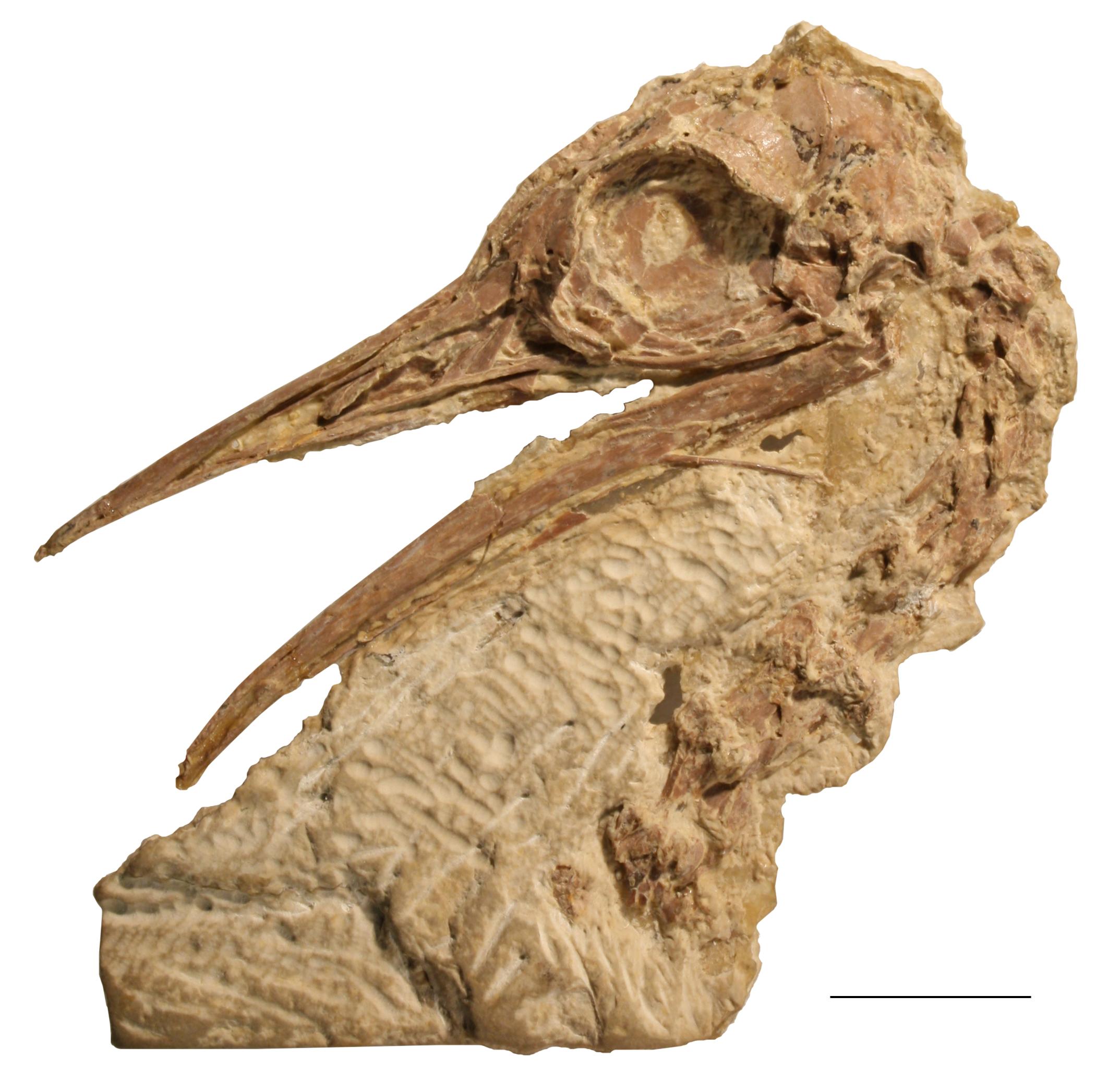 pseudocryptorus_skull