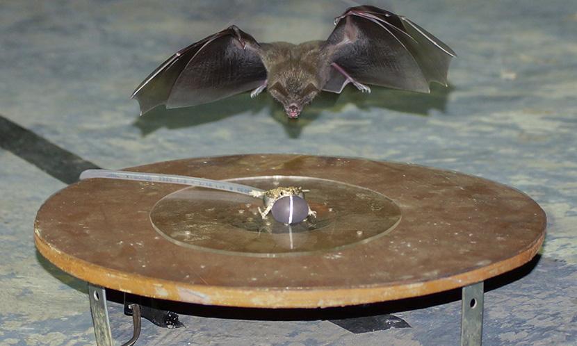 Bat attacks robofrog