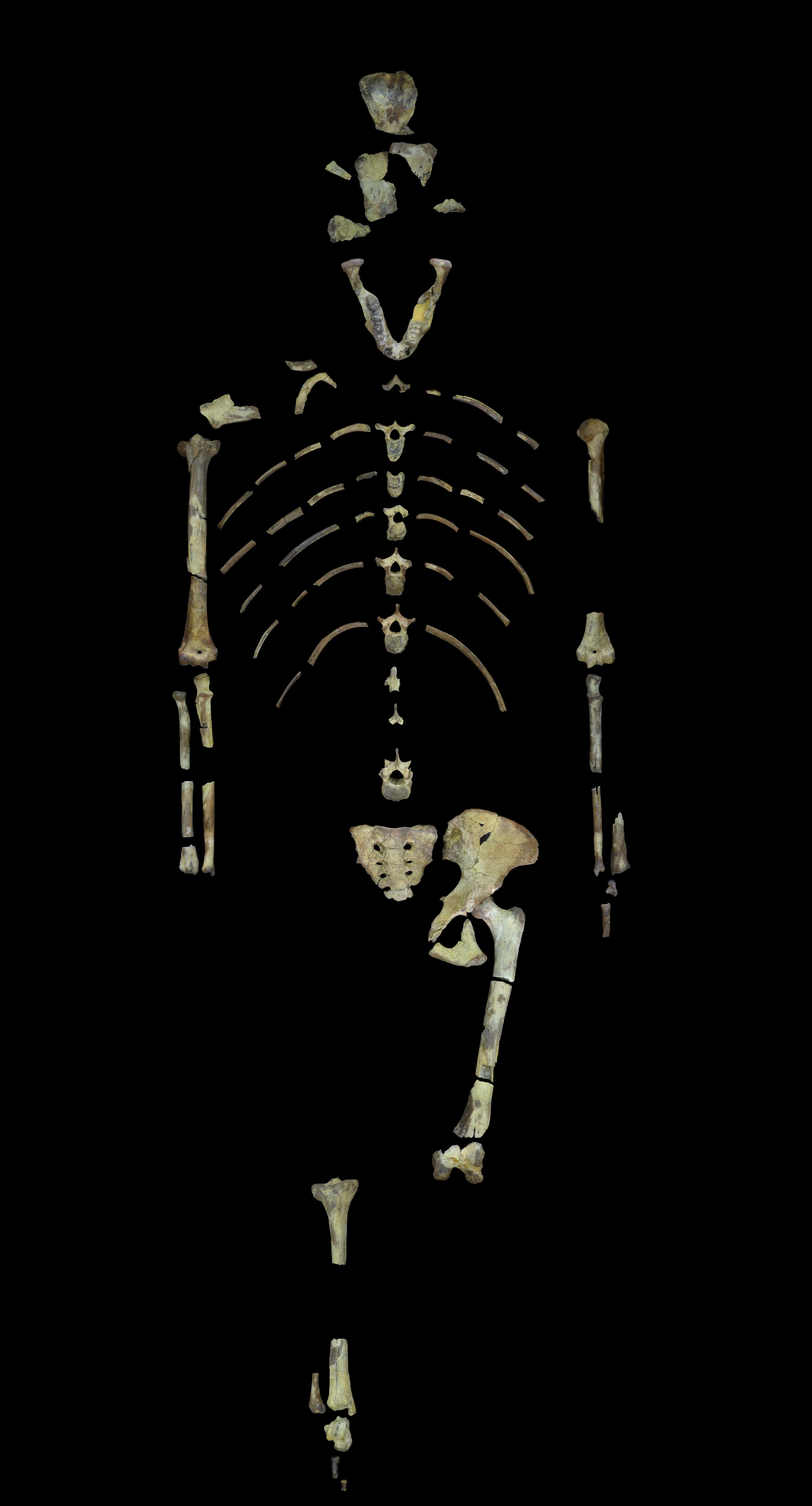 Lucy_skeleton.jpg
