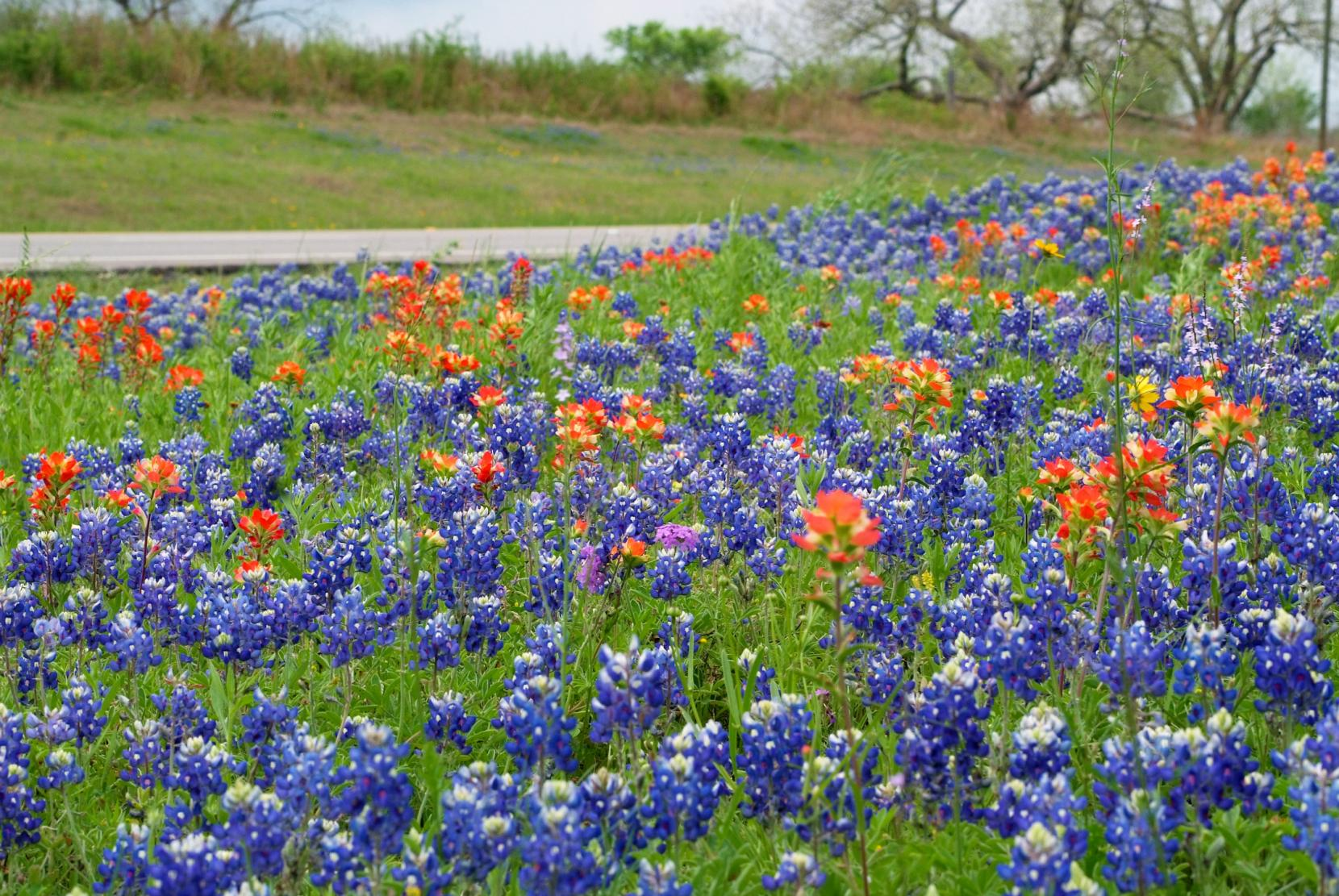 Wildflower Season May Come Earlier This Year Around Texas Experts