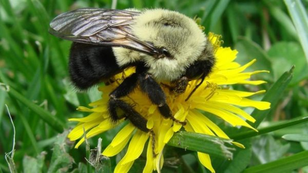 bombus_impatiens_bumble_bee