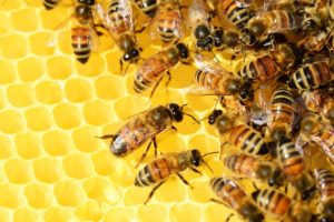 honey-bees-