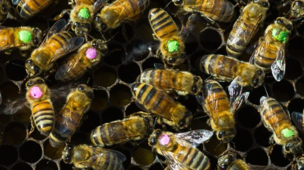 honeybees_honey_comb