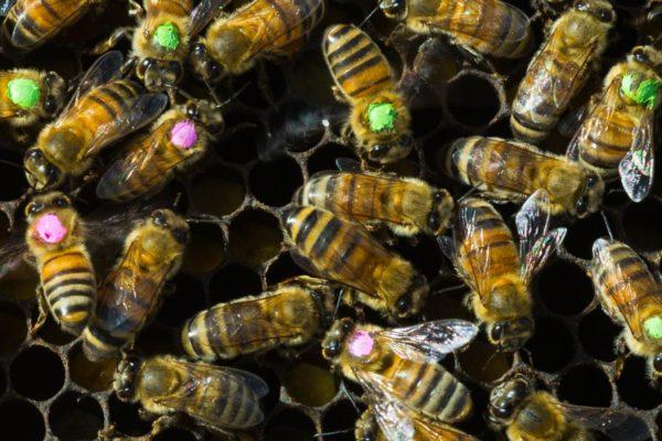 honeybees_honey_comb