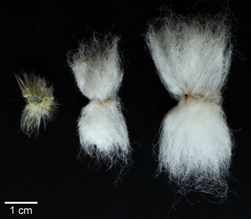 Cotton Fiber Comparisons