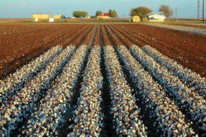 cotton_field830