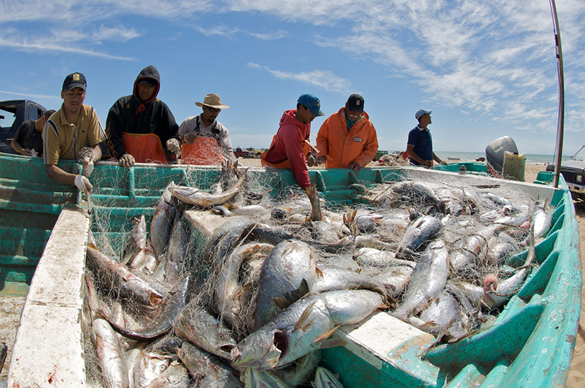 Mexican Fishers Harvest Gulf Corvina