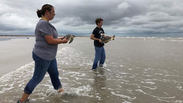 turtle-release-post-storm830