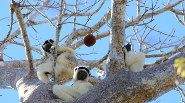 lemurs_in_tree