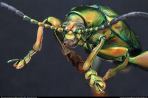 Insect Unlocked: Frog-legged beetle