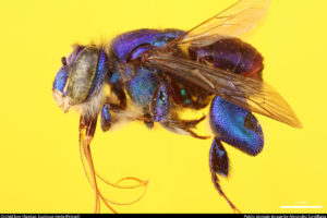 Insects Unlocked: Orchid Bee