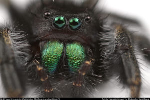 Insects Unlocked: Bold Jumping Spider