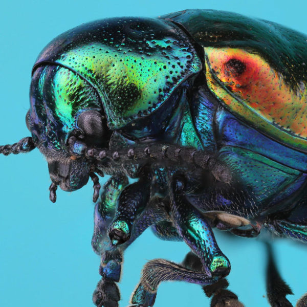Insects Unlocked: Dogbane Beetle