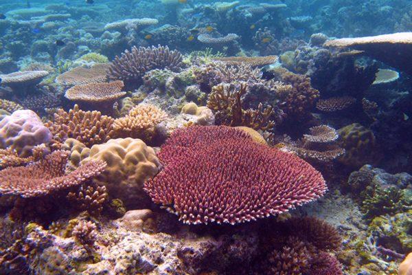staghorn-coral-palau-matz830