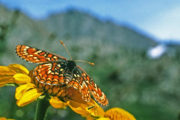 checkerspot-butterfly-close-up