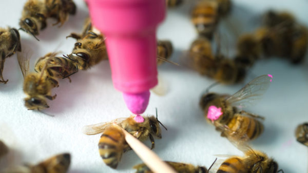 Honey bees marked for study.
