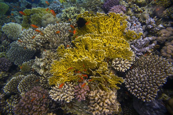 A colorful coral reef in the Red Sea offshore of the Sinai Peninsula.
