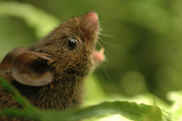 Alston's singing mouse