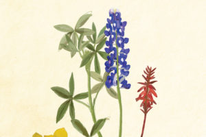 Texas wildflower illustrations.