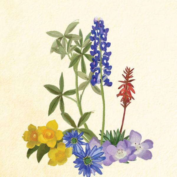 Texas wildflower illustrations.