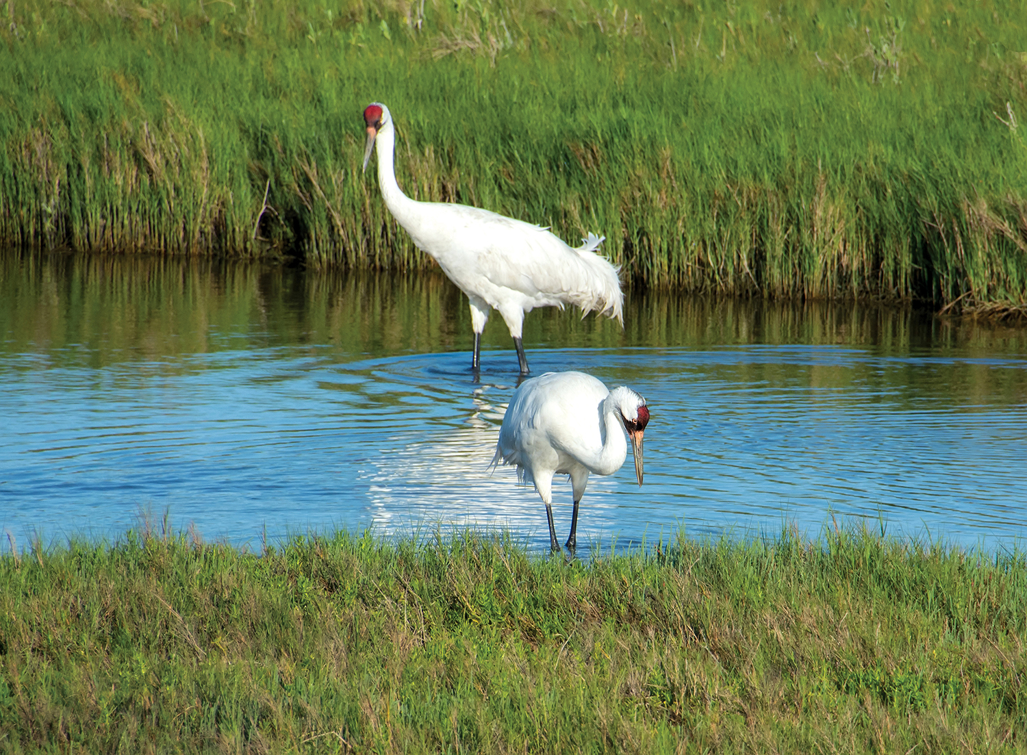 Whooping cranes stand in the marsh.