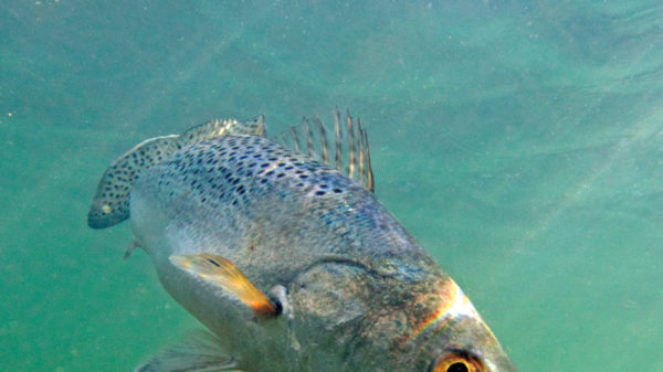 Spotted seatrout looking quizzically at the camera.