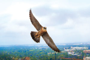 The falcon known as Tower Girl soaring over campus.