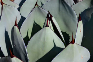 Pale gray-green cactus leaves with pointed spines