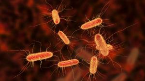 Escherichia coli bacterium