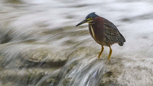 A green heron with yellow legs and long bill wades in the shallows of a small waterfall in Waller Creek