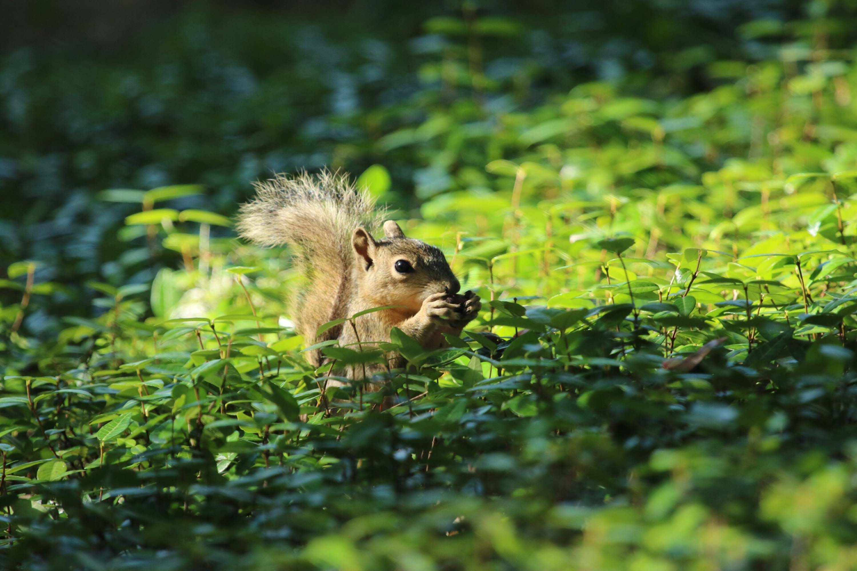 A squirrel with bushy tail in the patch of bright green jasmine near the Barbara Jordan statue.