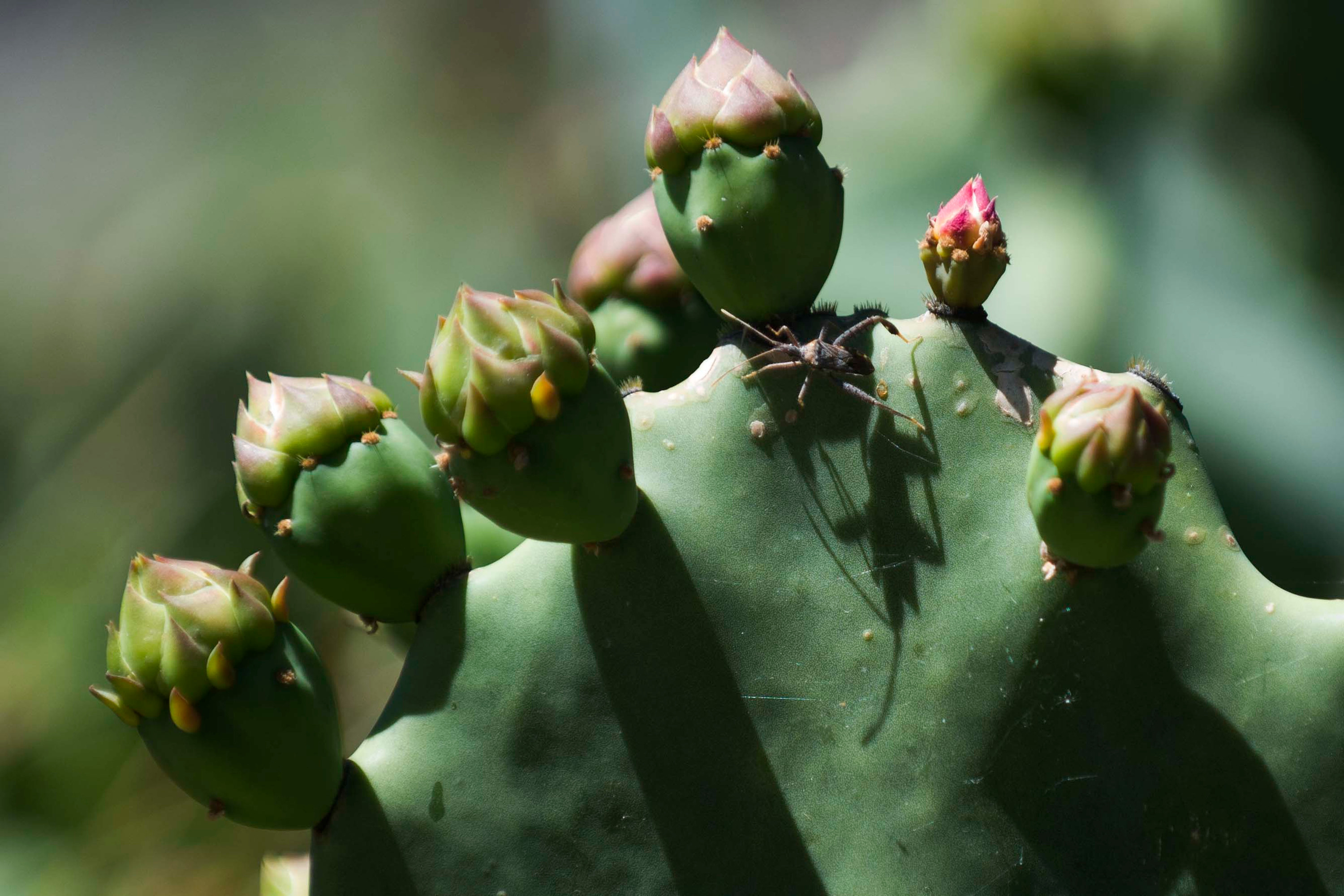 A blooming cactus, with pink flowers and an insect with long legs.