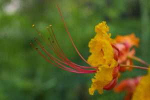 Closeup of gold and orange Pride of Barbados flowers with red stamens.