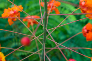orange and yellow Pride of Barbados plants with green and pink stems in front of the Steve Hicks School of Social Work