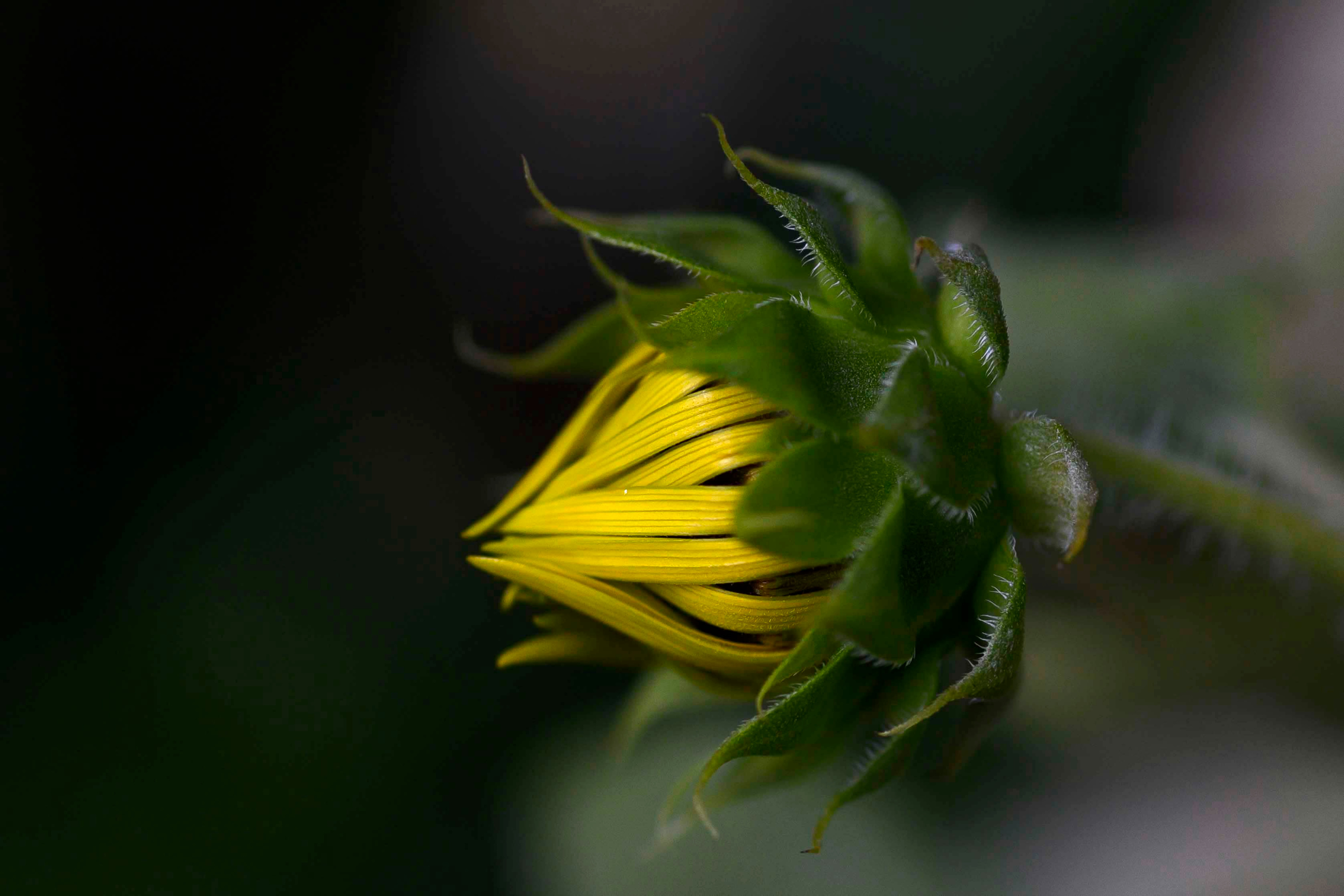 A closeup of a golden sunflower bud in the garden by Jester Dormitory