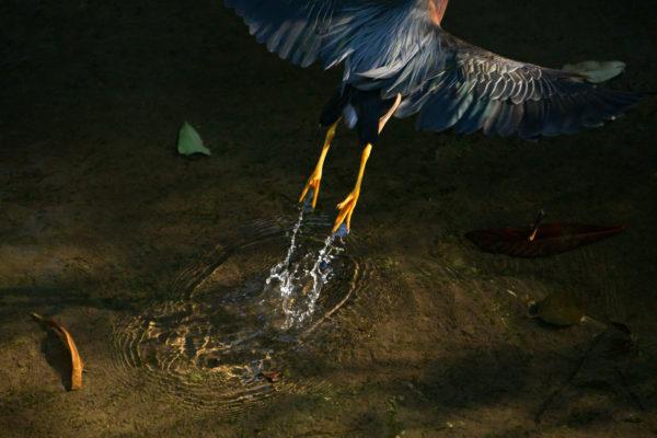 A green heron taking flight in Waller Creek, showing water dripping from its golden legs and feet