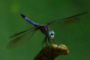 A dragon fly with green head and ultramarine blue tail lights on a green lily leaf.