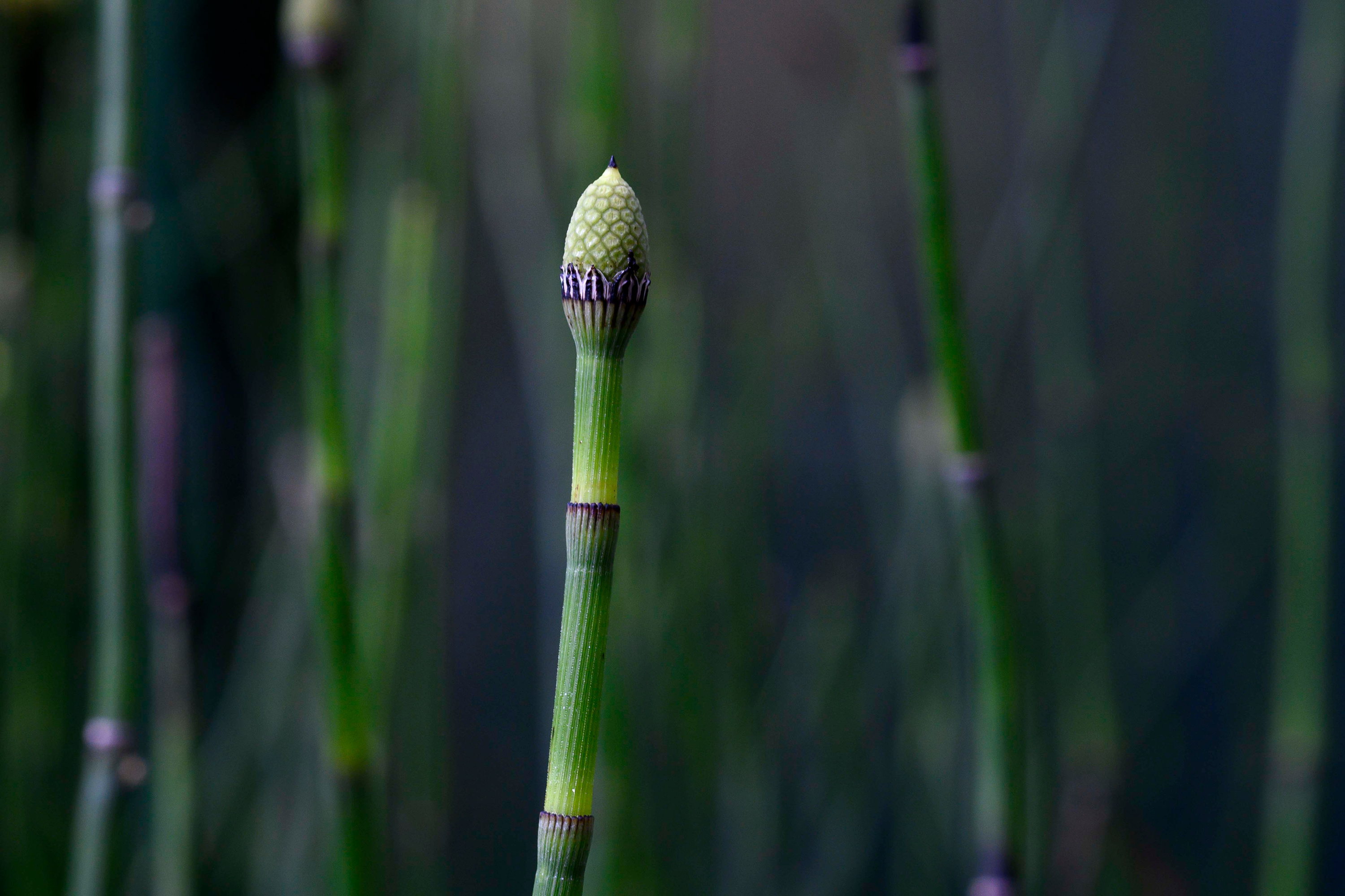 A single stem of horsetail, showing a closeup of the geometric patterns found in nature