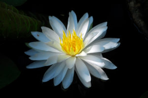 A white lily with yellow center in the turtle pond.