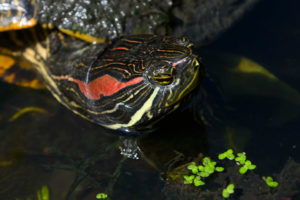 A closeup of the face of a red-eared slider turtle in the turtle pond.