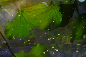 large green lily leaves submerged in the turtle pond