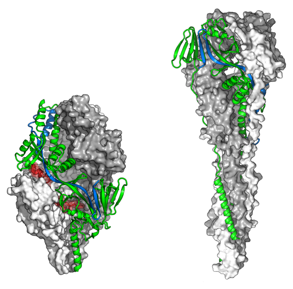 The two shapes of RSV's F protein
