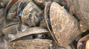 Zebra mussels researched by Freshman Research Initiative.