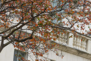 A tree outside of the Godlsmith Hall turned red-orange. The upstairs balustrade of Goldsmith Hall is in the background.