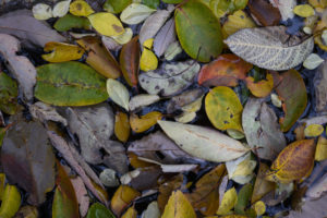 A variety of shapes and colors of leaves in the turtle pond.